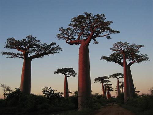 baobab-madagascar