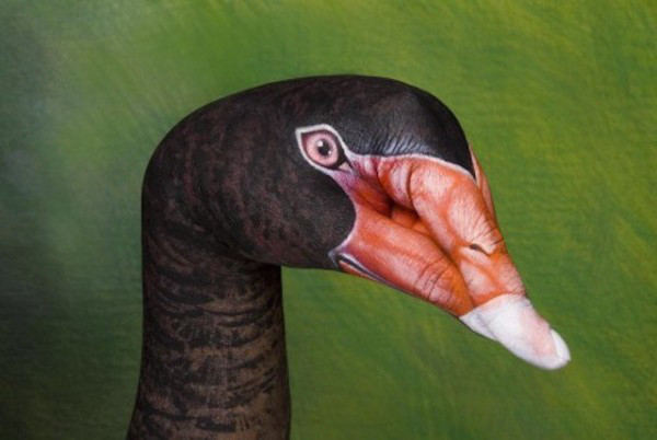 swan-australian-black-swan-600x402