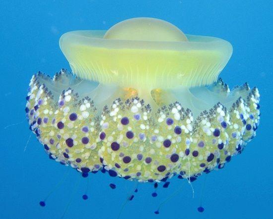 jellyfish-clones-photo